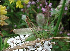 Männliche Zweifarbige  Beißschrecke (Metrioptera bicolor), langflügelige Form