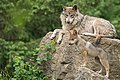 Mexican Wolf Pup (27447950683).jpg
