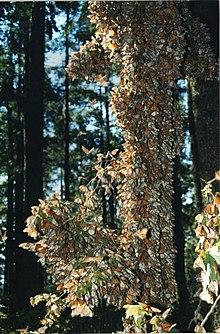Monarchfalter – Wiki...