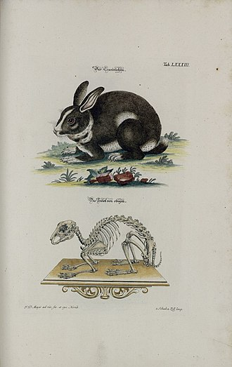 Domestic rabbit - Johann Daniel Meyer (1752)