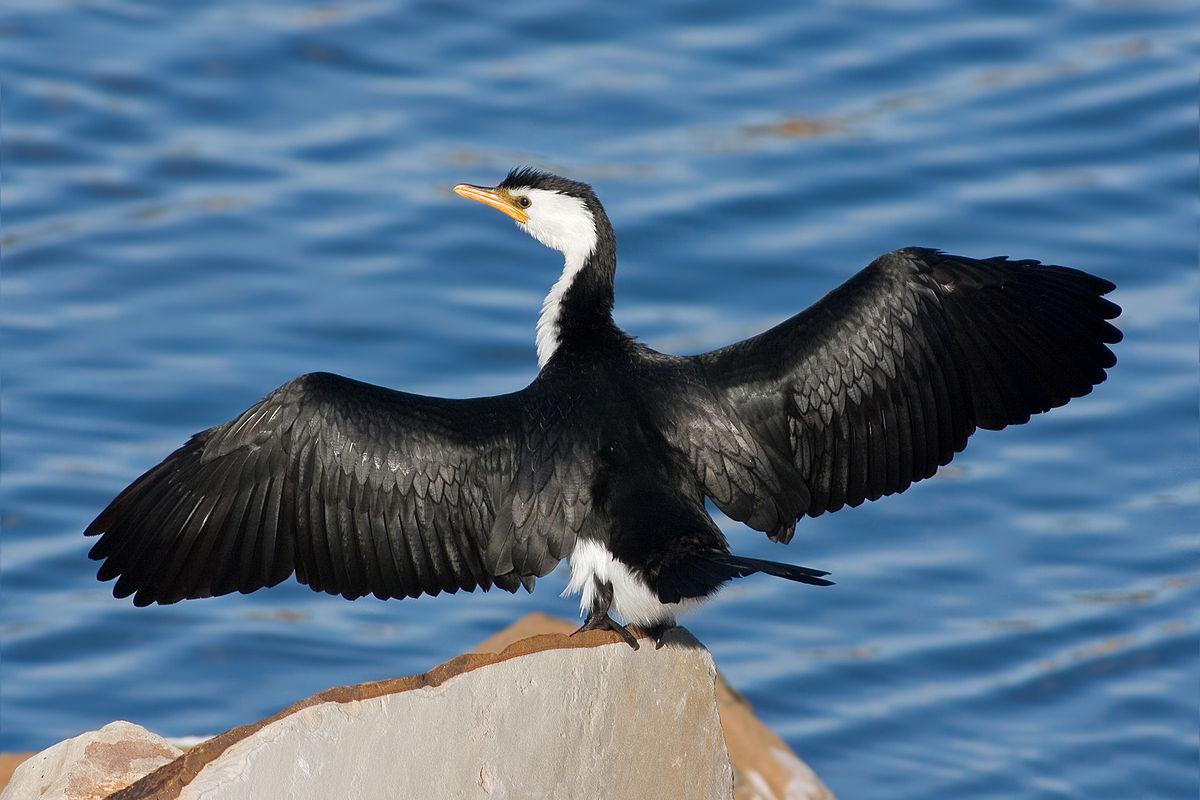 Cormorant - Wikipedia