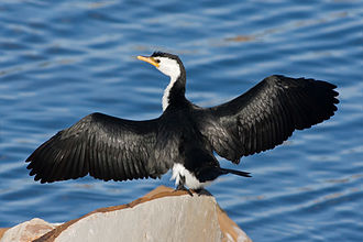 Cormorant - Little pied cormorant Microcarbo melanoleucos