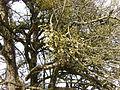 Mistletoe.1994.JPG