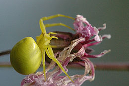 Misumena vatia, hunnen er fargevariabel.  Foto: James K. Lindsey