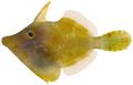 Monacanthus ciliatus - pone.0010676.g193.png