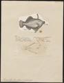 Monacanthus tomentosus - 1700-1880 - Print - Iconographia Zoologica - Special Collections University of Amsterdam - UBA01 IZ15400149.tif