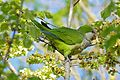 Monk Parakeet (Myiopsitta monachus) eating elm seeds ... (26562683922).jpg