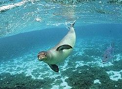 Monk Seal (5897220552).jpg