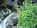 Monkeyflower, groundsel, willowherb (b0d9d04cbeda4b149e8b94aecf2865b8).JPG