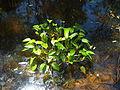 Monochoria cyanea habit.jpg