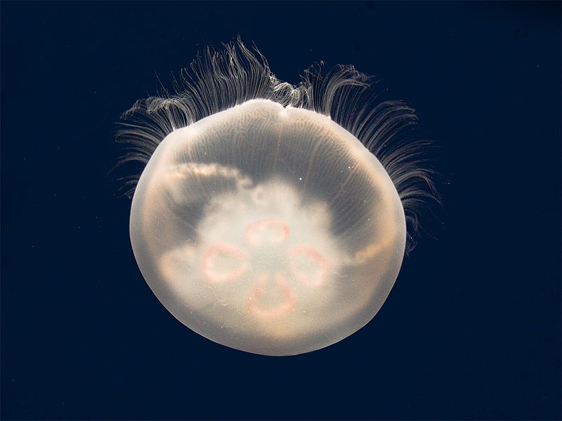 File:Moon jelly - adult (rev2).jpg