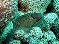Moray eel (5426234322).jpg