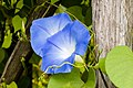 Morning Glories at small farm (2843768971).jpg