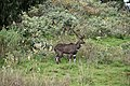 Mountain nyala, Bale Mountains National Park (10) (29258824776).jpg