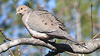 Mourning Dove-27527.jpg