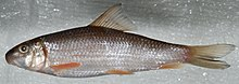 Moxostoma erythrurum (S1085) (22444085623).jpg