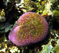 Muchroom coral