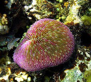 Muchroom coral.JPG