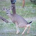 Mule deer doe (Odocoileus hemionus) (16185599741).jpg