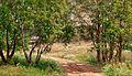 Munsterhjelm, Birches in Summer.jpg