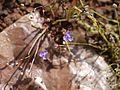 Murdannia semiteres (Dalzell) Santapau (8070820443).jpg