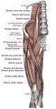 Muscles face antérieure de la cuisse.png