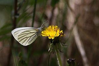 Pieris oleracea - Image: Mustard White (3703528370)