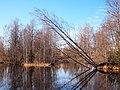 Muuramenjoki tilted tree.jpg