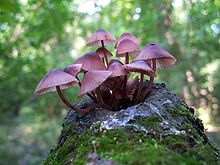 A cluster of about a dozen pinkish-purple mushrooms growing from the stump of a tree