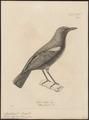 Myiophoneus cyaneus - 1700-1880 - Print - Iconographia Zoologica - Special Collections University of Amsterdam - UBA01 IZ16300349.tif