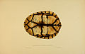 N218 Sowerby & Lear 1872 (chelodina longicollis).jpg