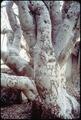 NATURAL GRAFTED TREE IN BIG STUMP MEADOW - NARA - 542723.tif