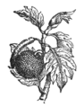 NSRW Breadfruit.png