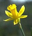 Narcissus confusus 2.jpg