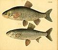 Naturgeschichte in Bildern mit erläuterndem Text (Taf. CXXXVIII) (6058683181).jpg