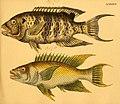 Naturgeschichte in Bildern mit erläuterndem Text (Taf. LXXXVI) (6058672379).jpg