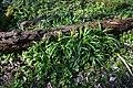 Naturschutzgebiet Haseder Busch - Märzenbecher verblüht.jpg