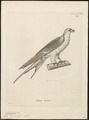 Nauclerus riocouri - 1700-1880 - Print - Iconographia Zoologica - Special Collections University of Amsterdam - UBA01 IZ18200350.tif