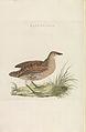Nederlandsche vogelen (KB) - Crex crex (275pl).jpg