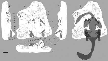 Diagram showing the remains and body outline of the nesting specimen Nemegtomaia nesting.png