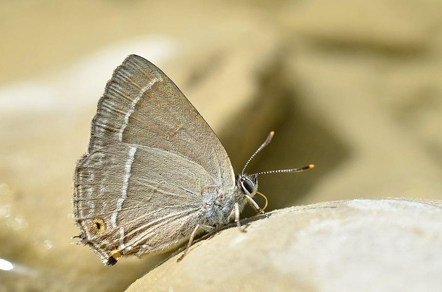 Neozephyrus quercus