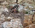 Nesting Black storks.jpg