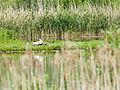 Nesting swan (14161485708).jpg