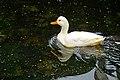 Netherlands-4654 - Common White Duck (12171596574).jpg