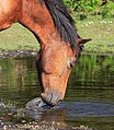 New Forest mare drinking at ground water. - geograph.org.uk - 437801.jpg