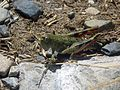 New Zealand Grasshopper - Flickr - GregTheBusker (1).jpg