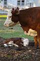 Newborn hereford.jpg