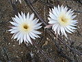 Night-Blooming Cereus Sonora.jpg