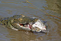 Nile Crocodile (Crocodylus niloticus) trying to swallow a big Tilapia (Oreochromis sp.)... (16818888756).jpg