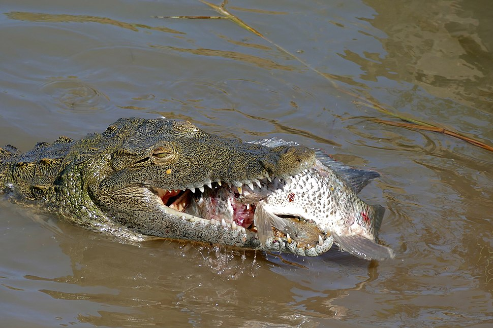 Nile Crocodile (Crocodylus niloticus) trying to swallow a big Tilapia (Oreochromis sp.)... (16818888756)